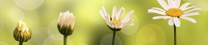 daisies-growing